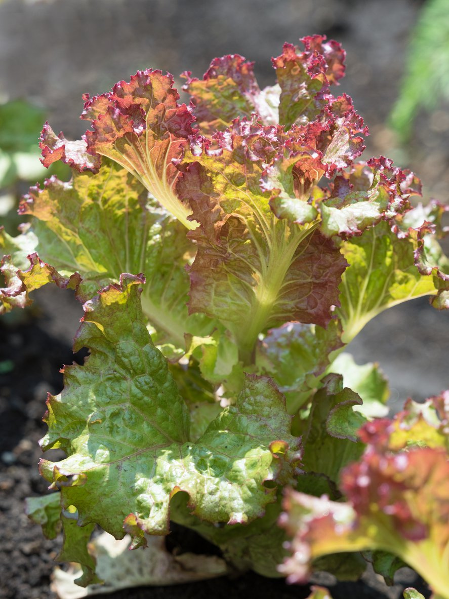 1548947377 learn about growing de morges braun lettuce takeseeds com - Learn About Growing De Morges Braun Lettuce