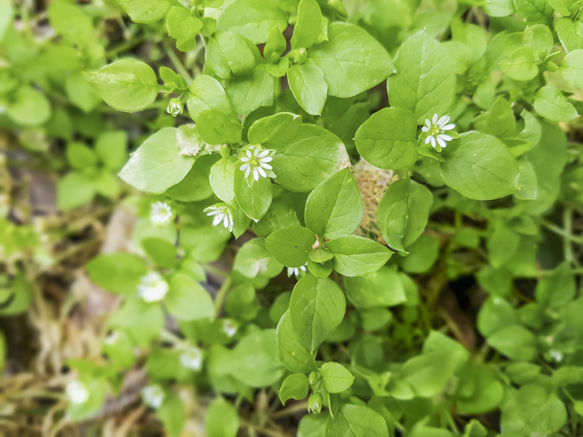 1549206925 information on using chickweed as food takeseeds com - Information On Using Chickweed As Food
