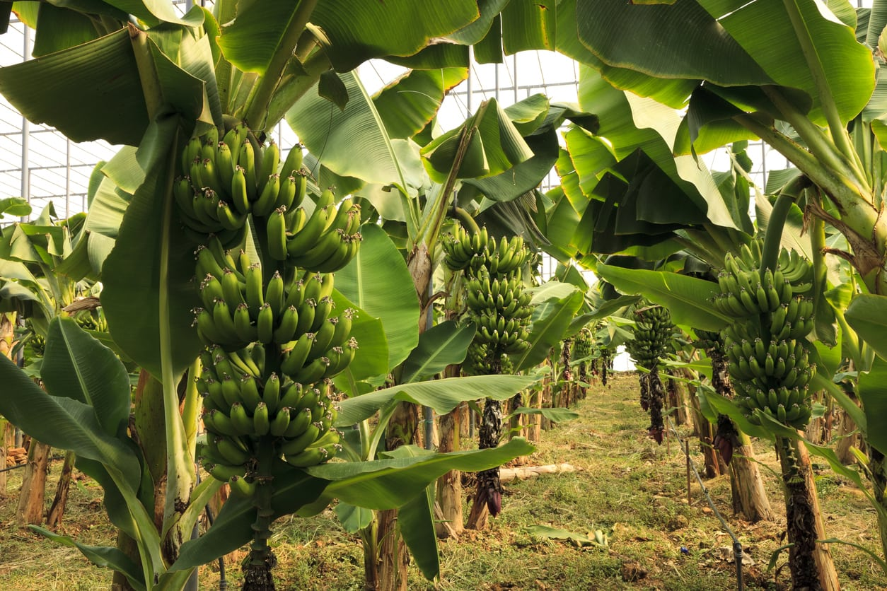 1549293439 tips on growing bananas in zone 9 gardens takeseeds com - Tips On Growing Bananas In Zone 9 Gardens