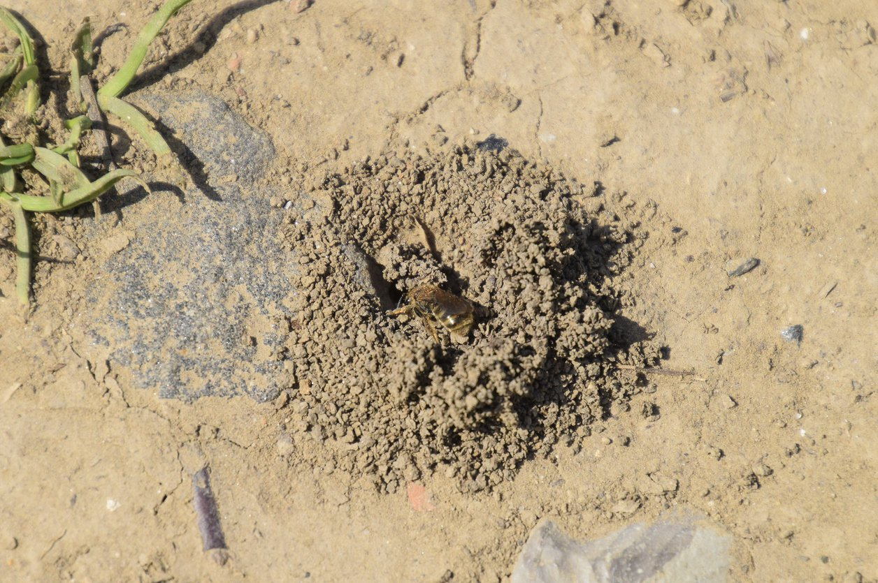1549772580 what are mining bees identifying those bees in the ground takeseeds com - What Are Mining Bees – Identifying Those Bees In The Ground