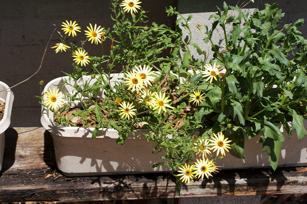 1551379880 cape marigold fertilizer needs tips for fertilizing cape marigold plants takeseeds com - Cape Marigold Fertilizer Needs – Tips For Fertilizing Cape Marigold Plants