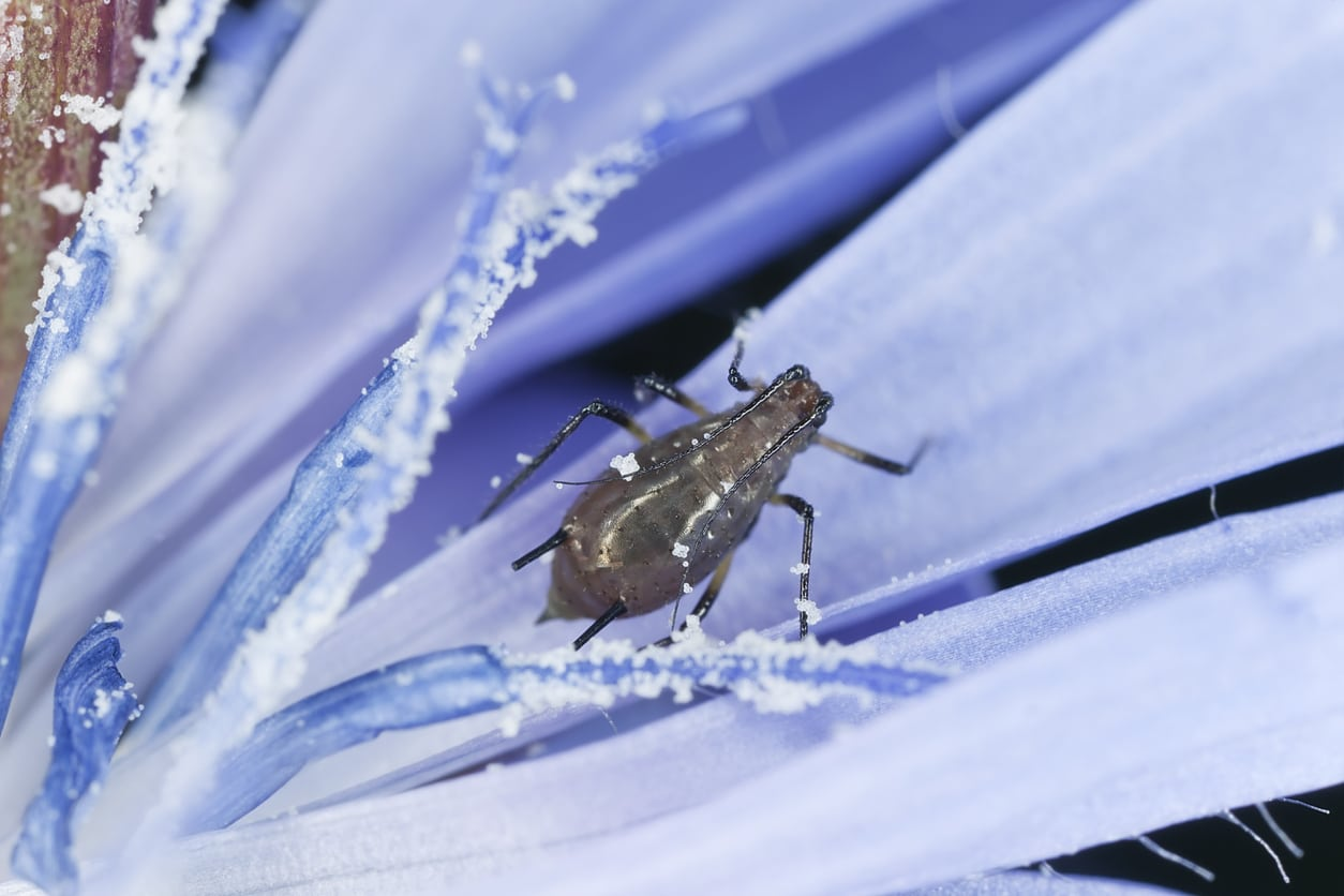 1551509678 learn about common chicory plant pests takeseeds com - Learn About Common Chicory Plant Pests
