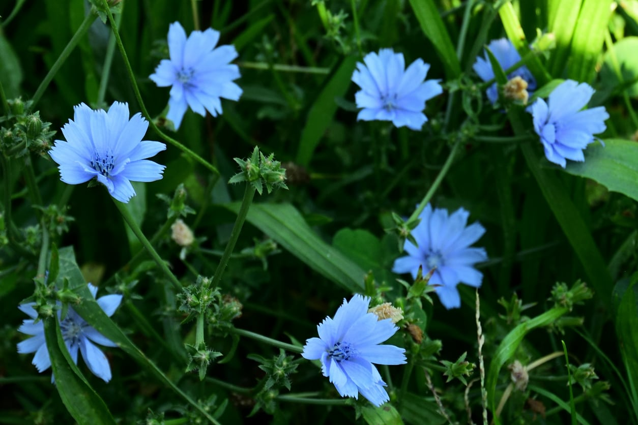 1551855966 caring for container grown chicory takeseeds com - Caring For Container Grown Chicory