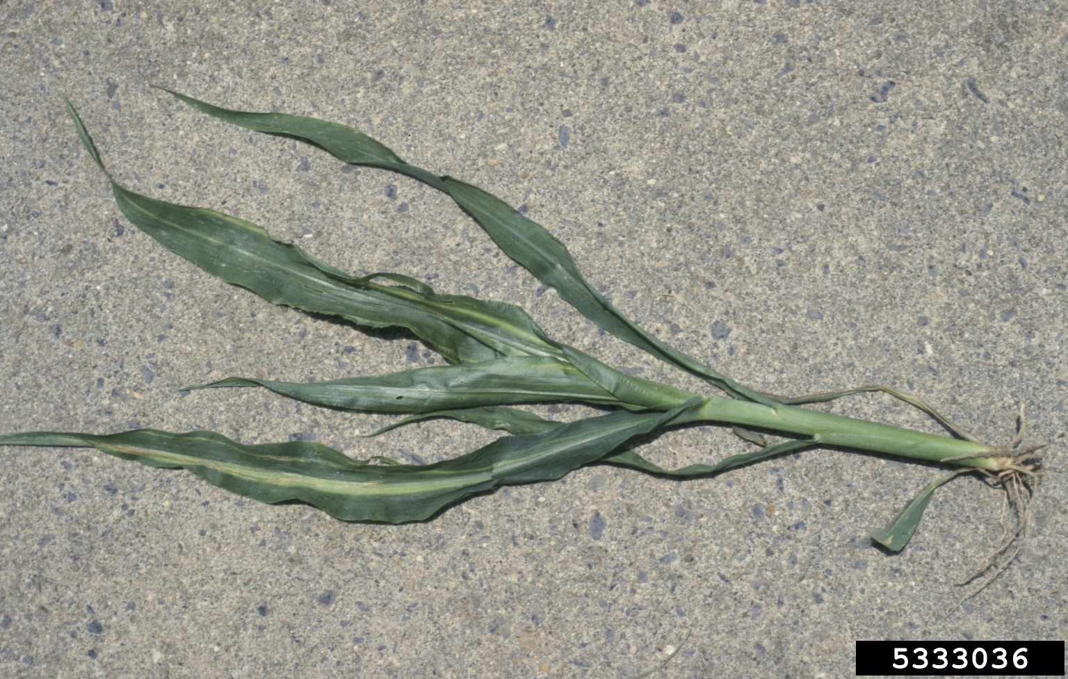 1551899233 managing corn bacterial leaf blight takeseeds com - Managing Corn Bacterial Leaf Blight