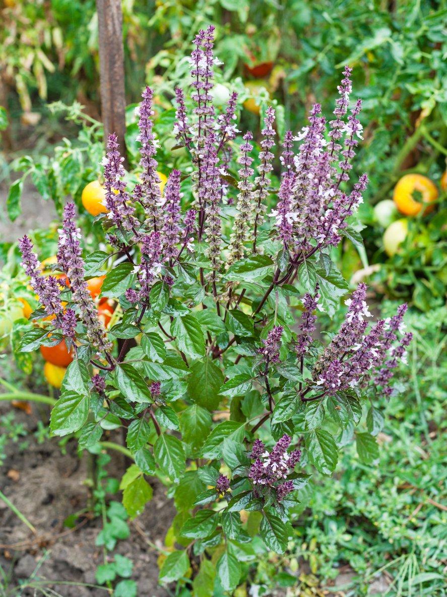 1552115606 growing queen of sheba basil in the garden takeseeds com - Growing Queen Of Sheba Basil In The Garden